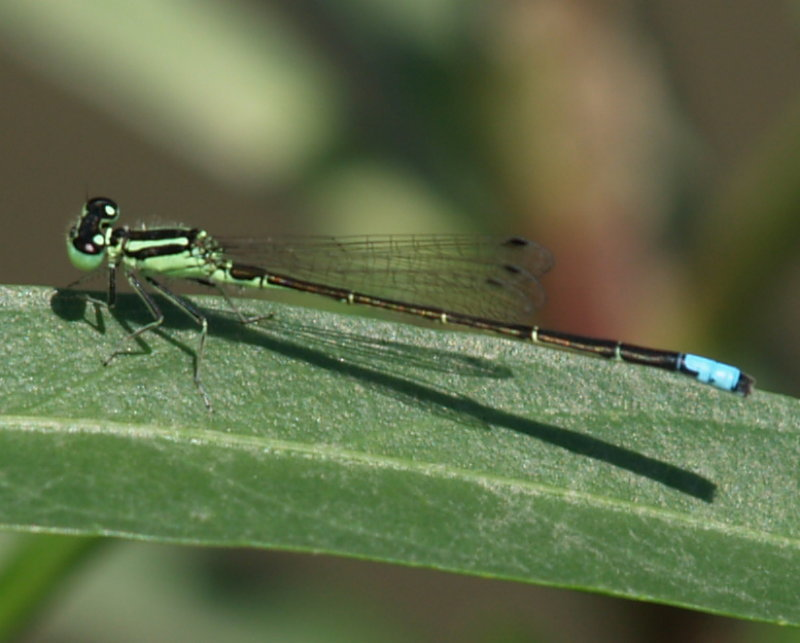 Image of Eastern Forktail