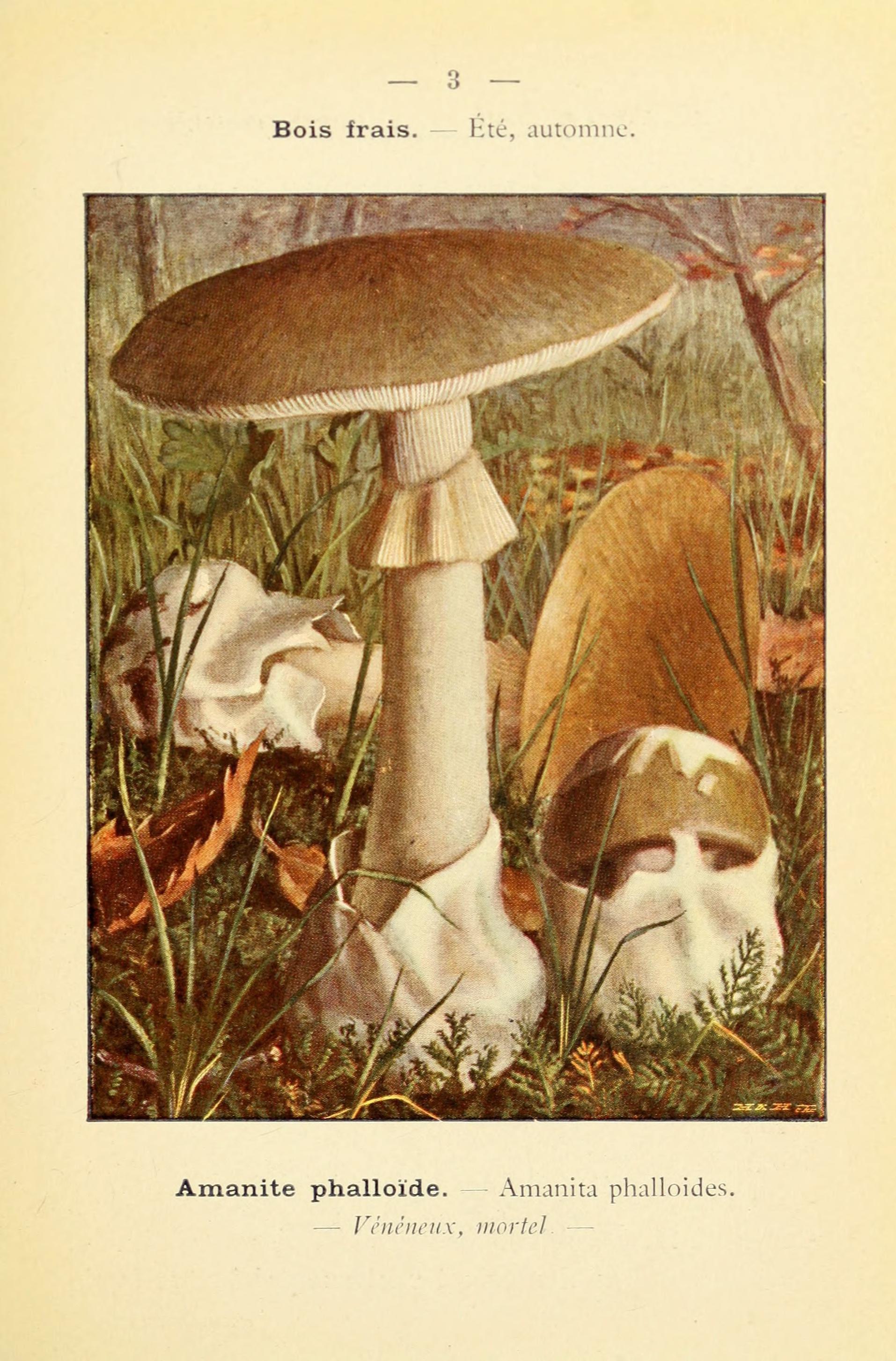 Image of Death cap