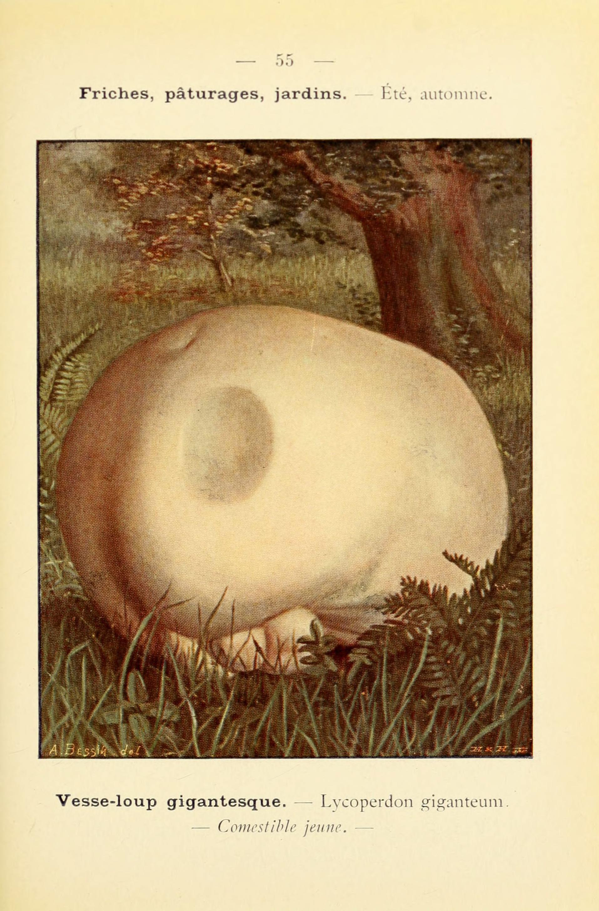 Image of <i>Lycoperdon giganteum</i>