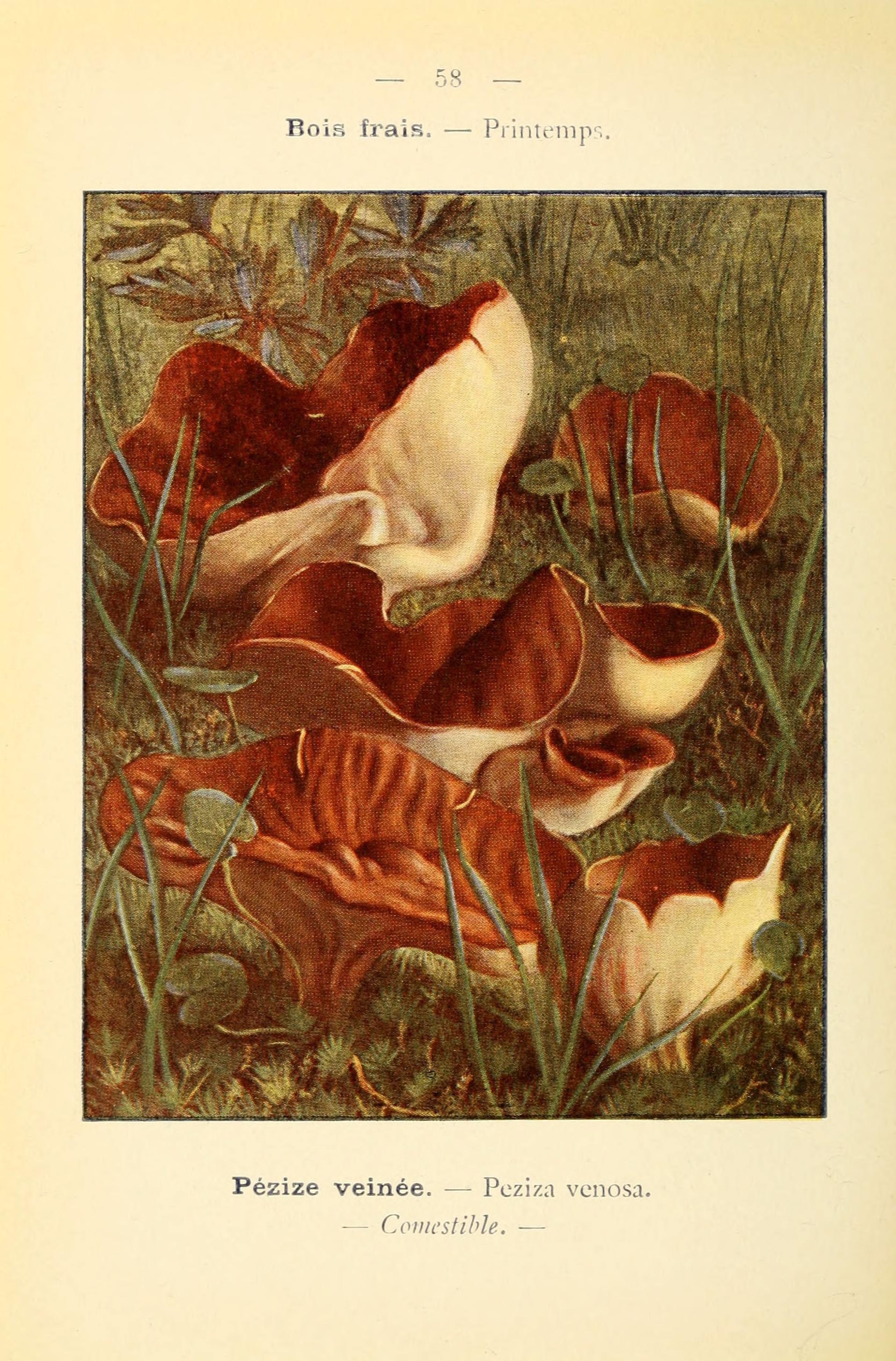 Image of <i>Peziza venosa</i> O. Weberb.