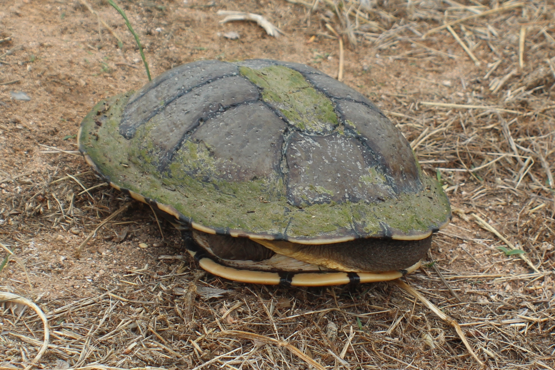Image of Common snakeneck turtle