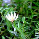 Image of Chinese lobelia