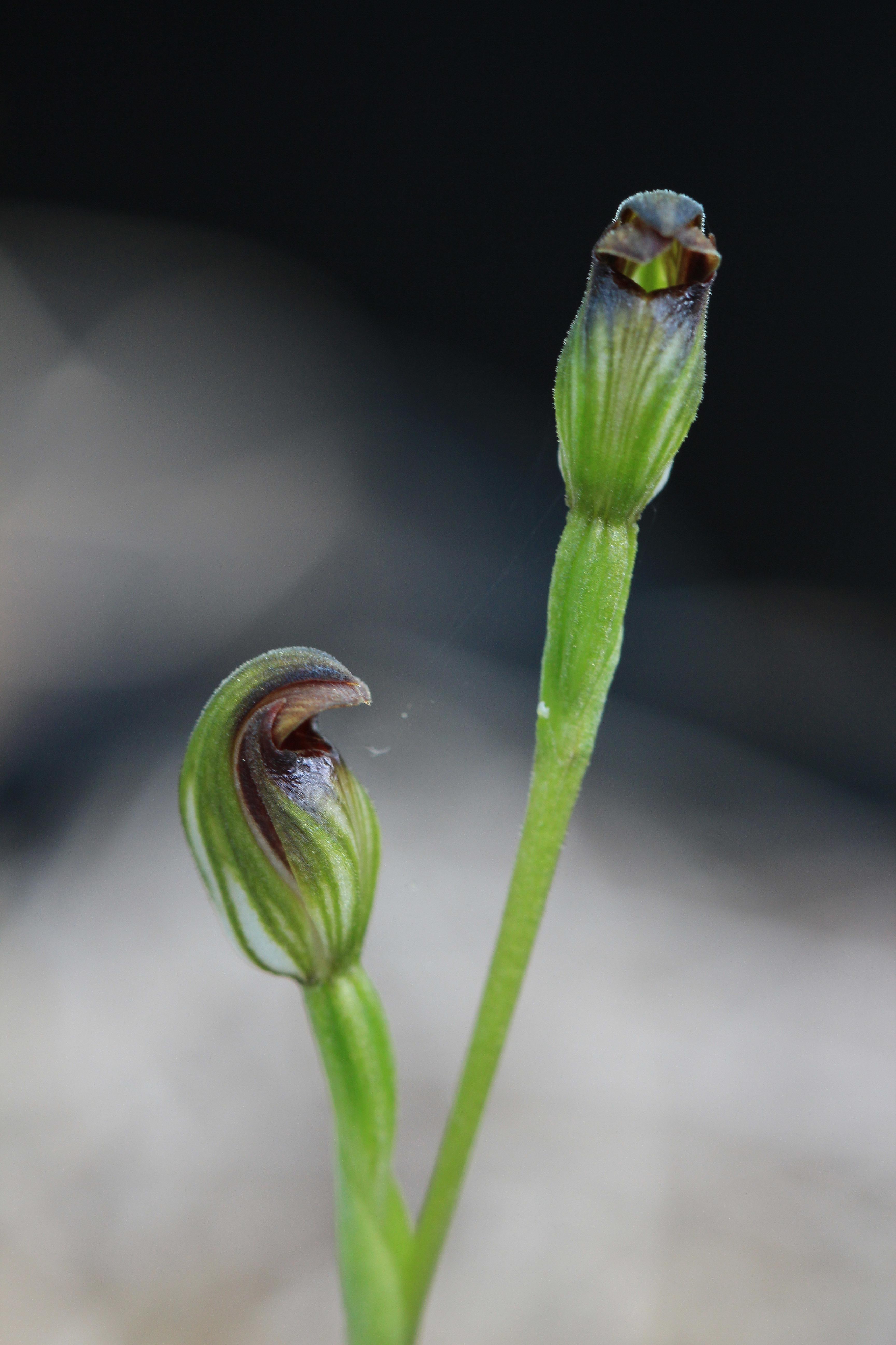 Image of Leafless greenhood