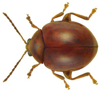 Image of <i>Sphaeroderma rubidum</i> (Graells 1858) Graells 1858