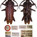 Image of <i>Derancistrus intermedia</i>