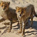 Image of cheetah