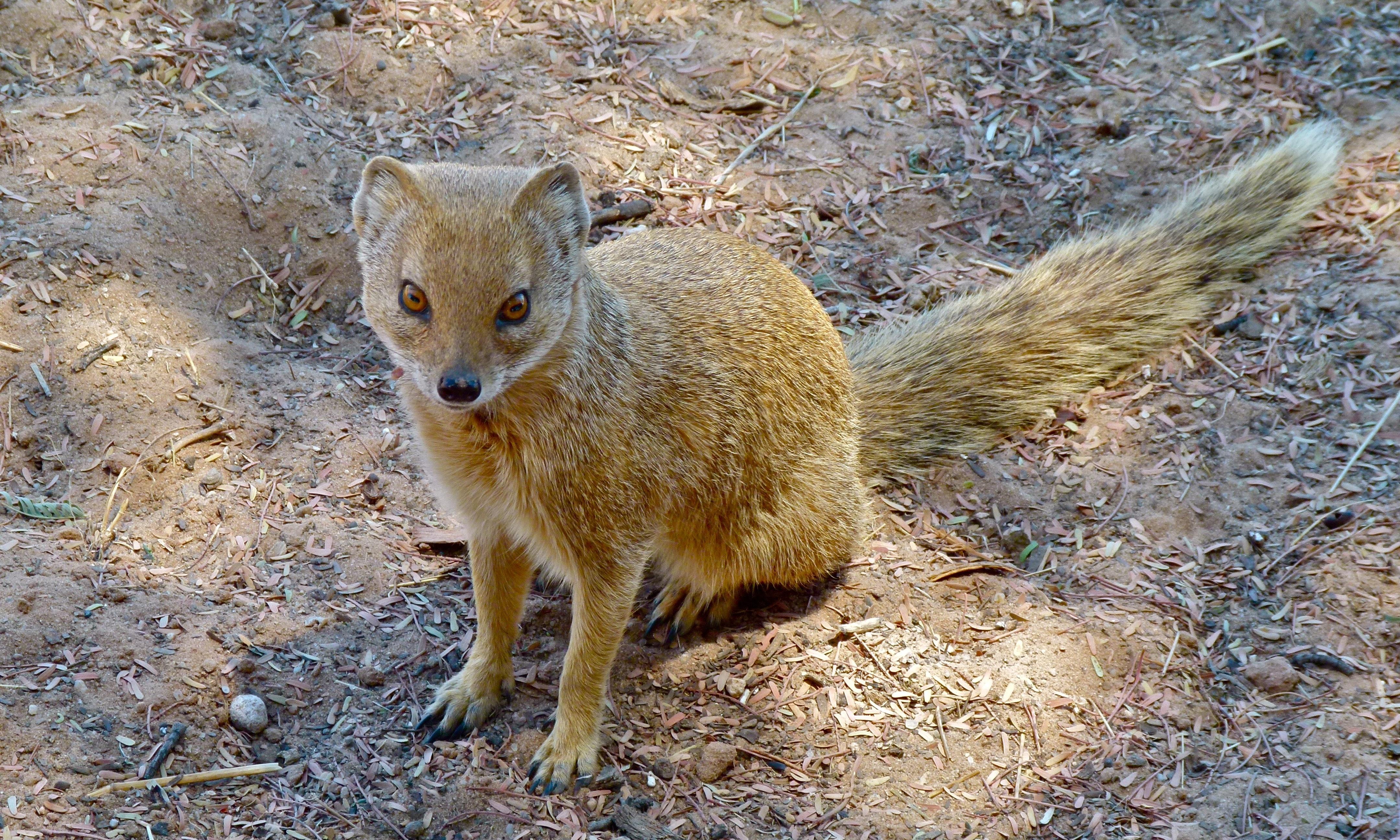 Image of Yellow Mongoose