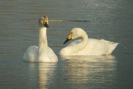 Image of Bewick's swan