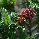 Image of <i>Lomatia tasmanica</i>