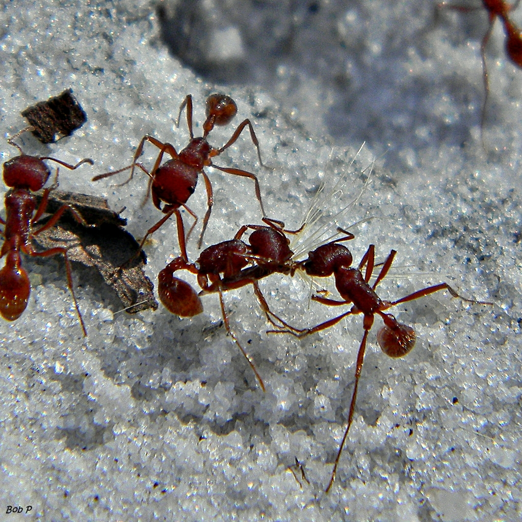 Image of Florida Harvester Ant