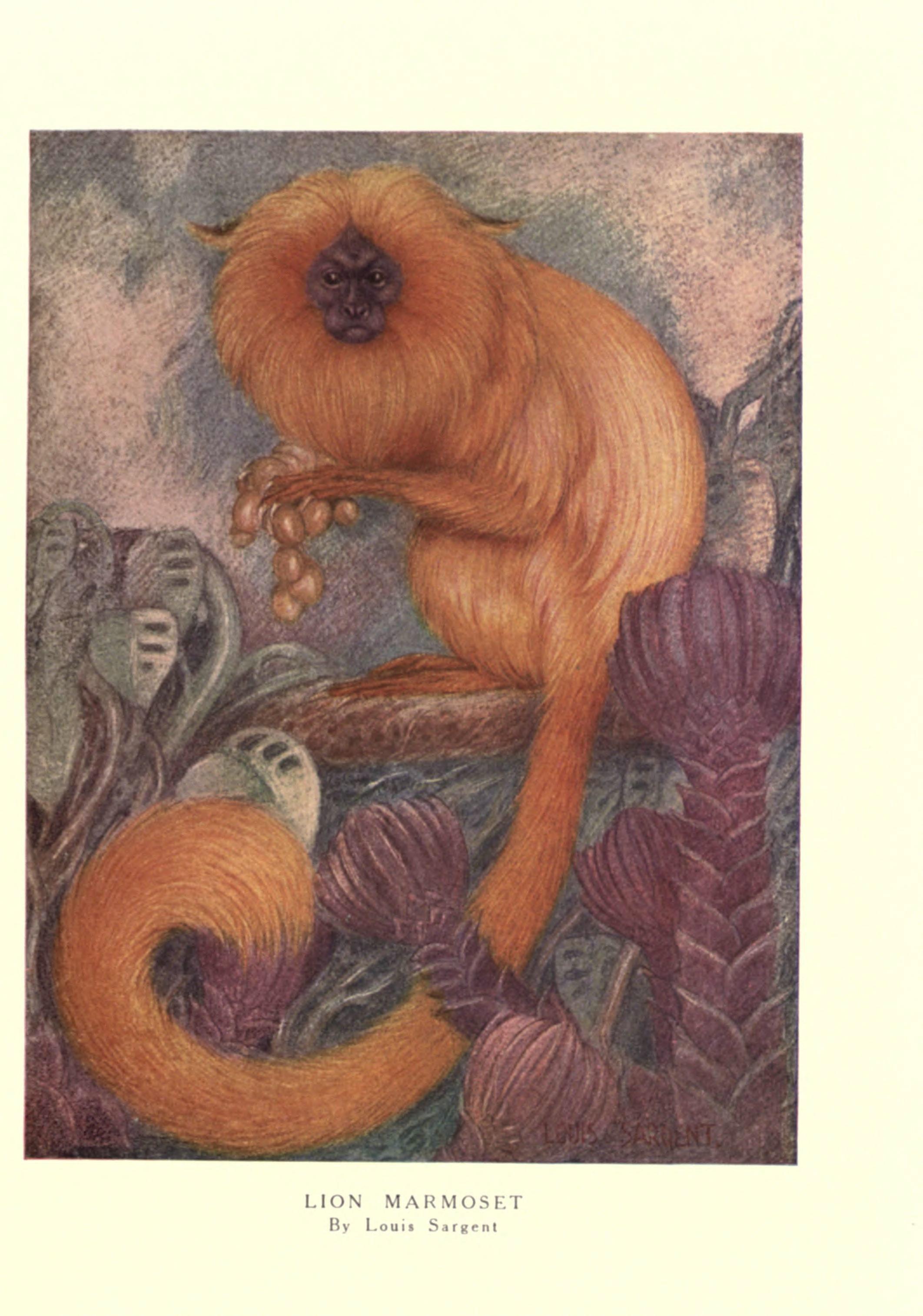 Image of Golden Lion Tamarin