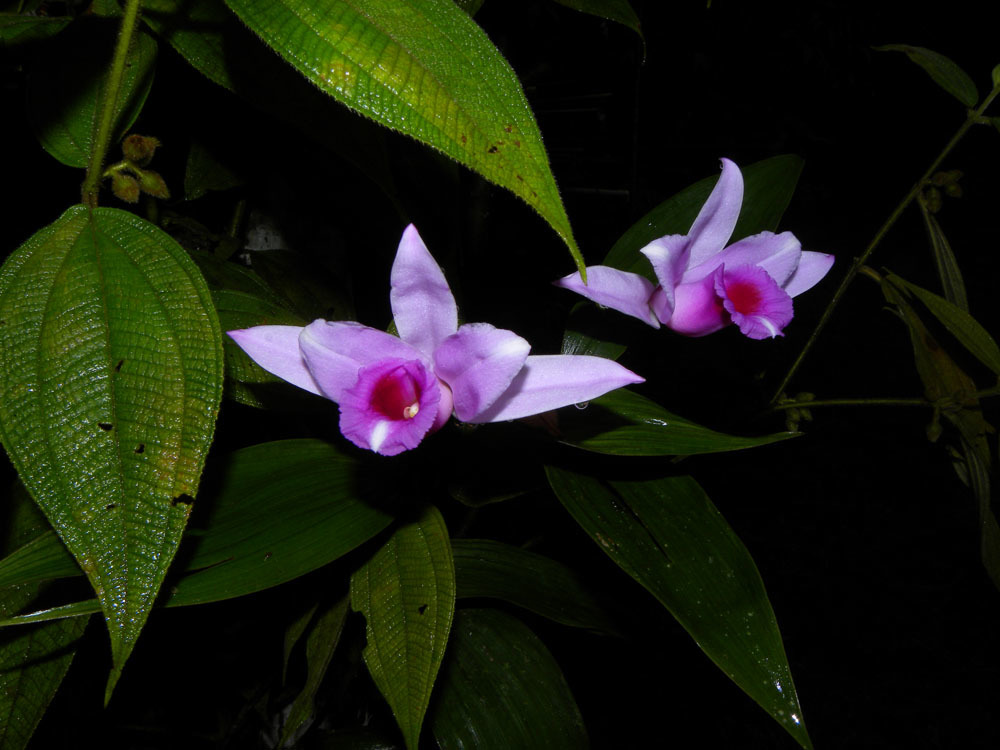 Image of <i>Sobralia labiata</i> Warsz. & Rchb. fil.