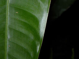 Image of <i>Heliconia vaginalis</i> Benth.