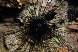Image of Long-spined sea urchin