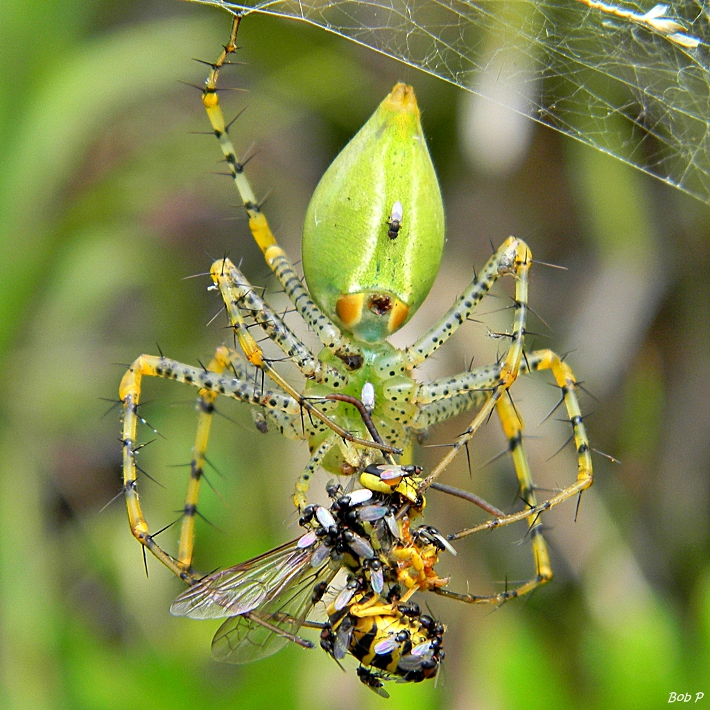 Image of Green Lynx Spider