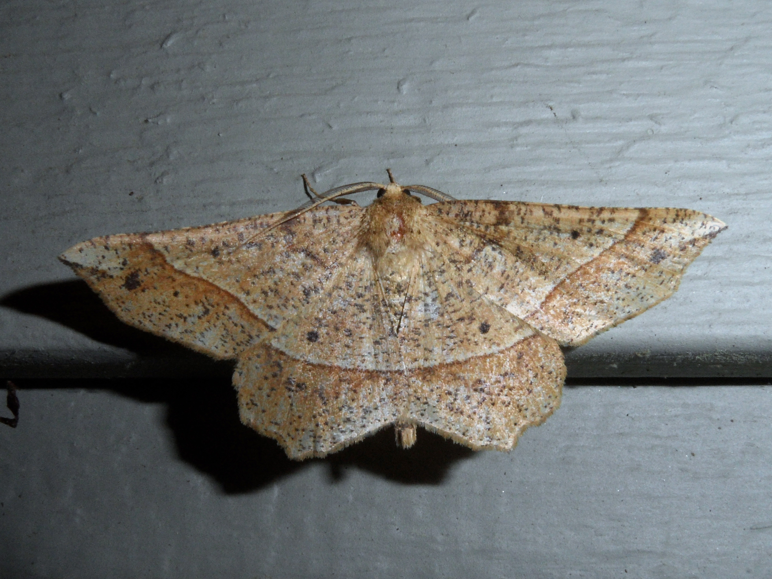 Image of Mottled Euchlaena