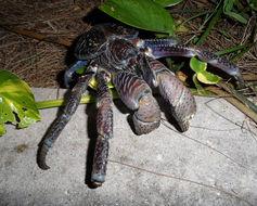 Image of Coconut Crab