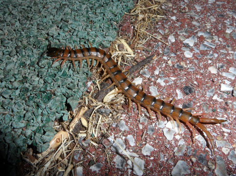Image of red-headed centipede