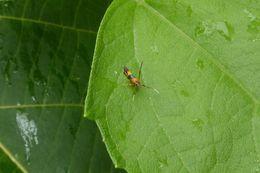 Image of <i>Xestocasis balanochrysa</i>