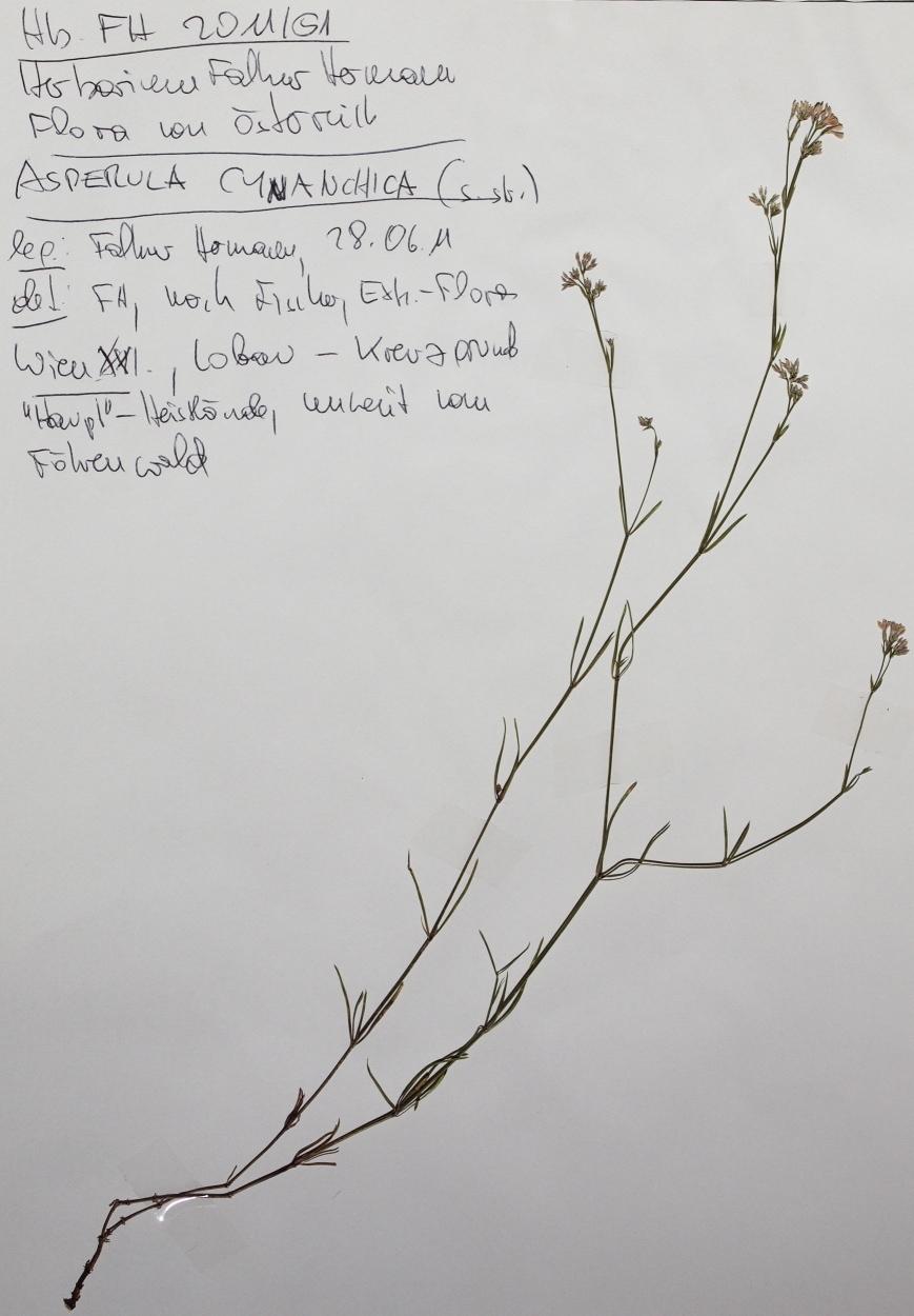 Image of <i>Asperula cynanchia</i>