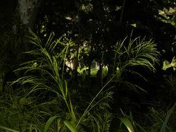 Image of <i>Panicum grande</i> Hitchc. & Chase