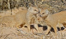 Image of Yellow Mongoose