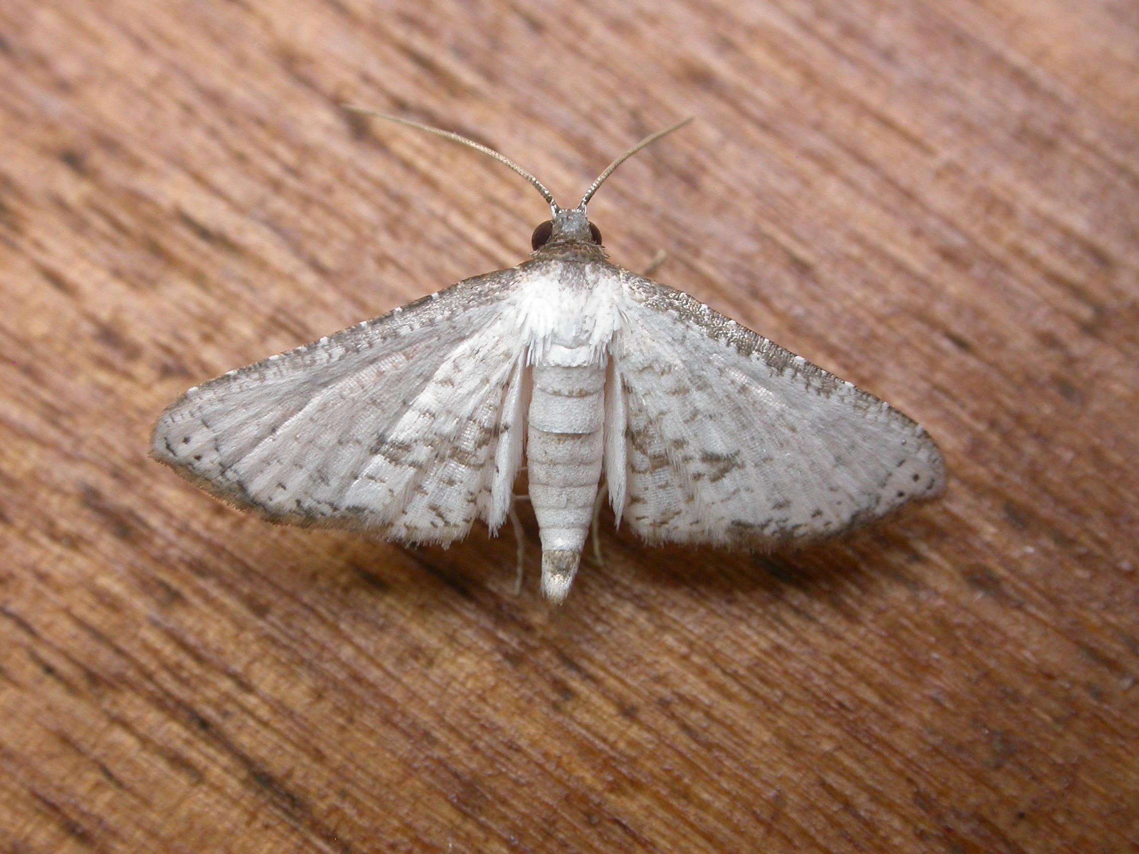 Image of <i>Hypolamprus melilialis</i>