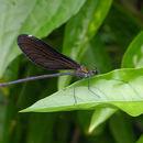 Image of <i>Matrona basilaris japonica</i>