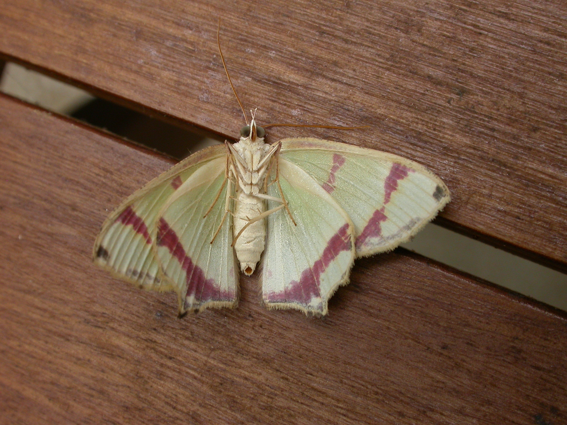 Image of <i>Agathia pisina</i> Butler 1887