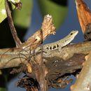 Image of Scheffler's Dwarf Gecko