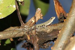Image of <i>Lygodactylus scheffleri laterimaculatus</i> Pasteur 1964
