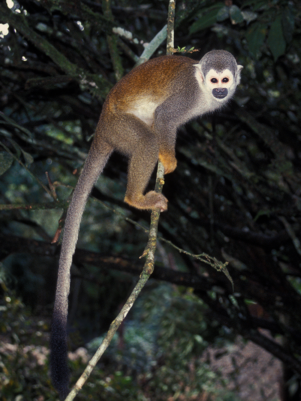 Image of Common Squirrel Monkey