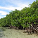 Image of red mangrove