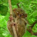 Image of tarsiers