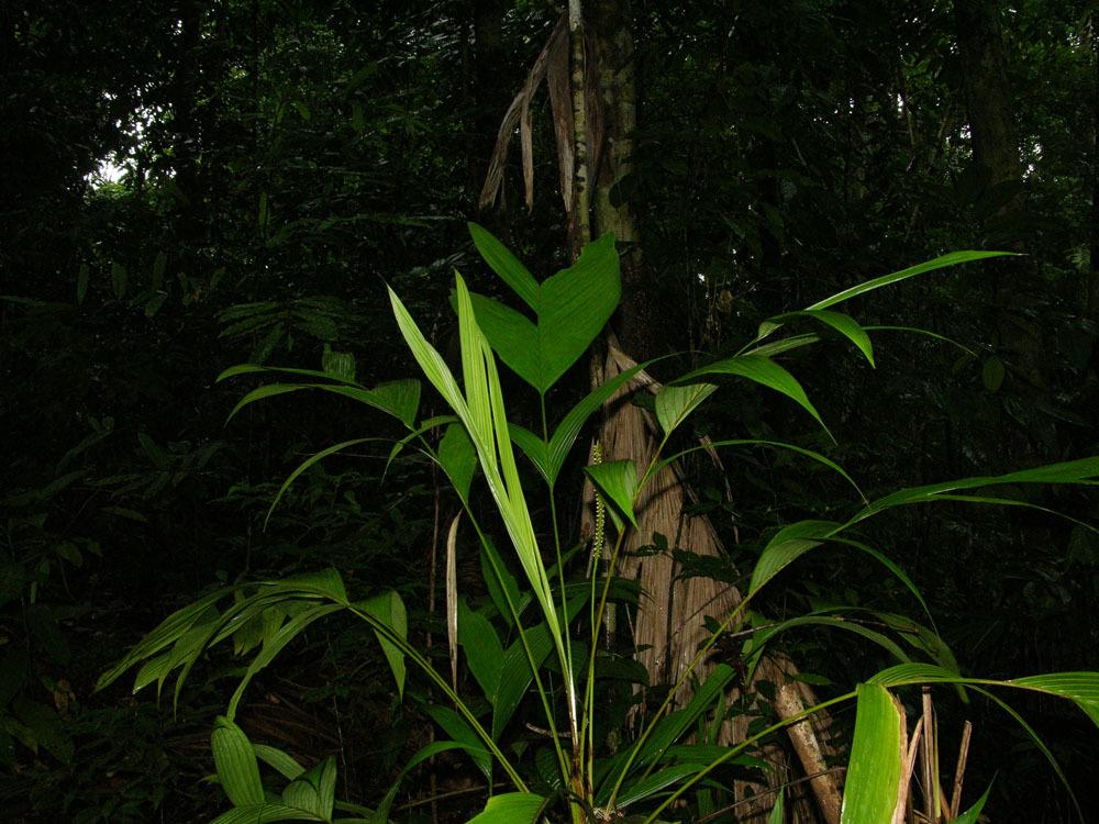 Image of <i>Geonoma cuneata</i> H. Wendl. ex Spruce