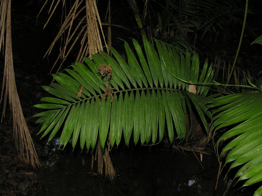 Image of <i>Prestoea schultzeana</i> (Burret) H. E. Moore