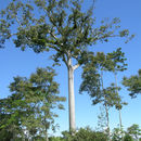 Image of kapoktree