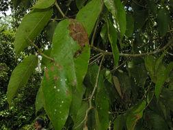 Image of <i>Parinari parvifolia</i> Sandw.