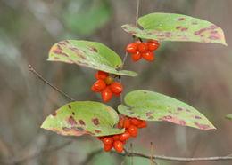 Image of sarsparilla vine