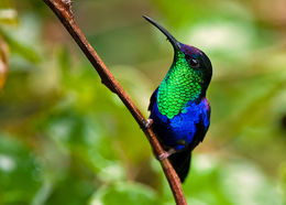 Image of Blue-crowned woodnymph