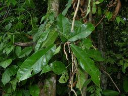Image of <i>Connarus lambertii</i> (DC.) Sagot