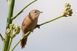 Image of Freckle-breasted Thornbird