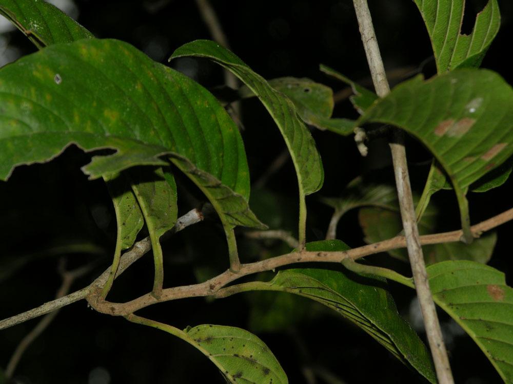 Image of <i>Tetracera hydrophila</i> Triana & Planch.