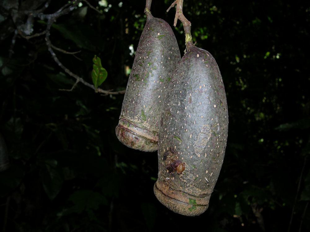 Image of Fine-leaf Wadara
