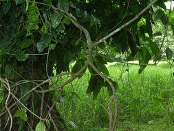 Image of <i>Tetrapterys tinifolia</i> Triana & Planch.