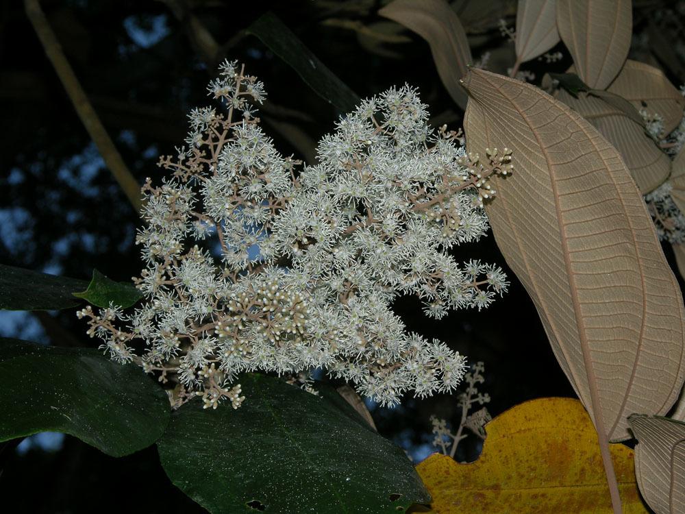 Image of <i>Miconia argentea</i> (Sw.) DC.
