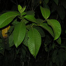 Image of <i>Miconia trinervia</i> (Sw.) D. Don ex Loud.