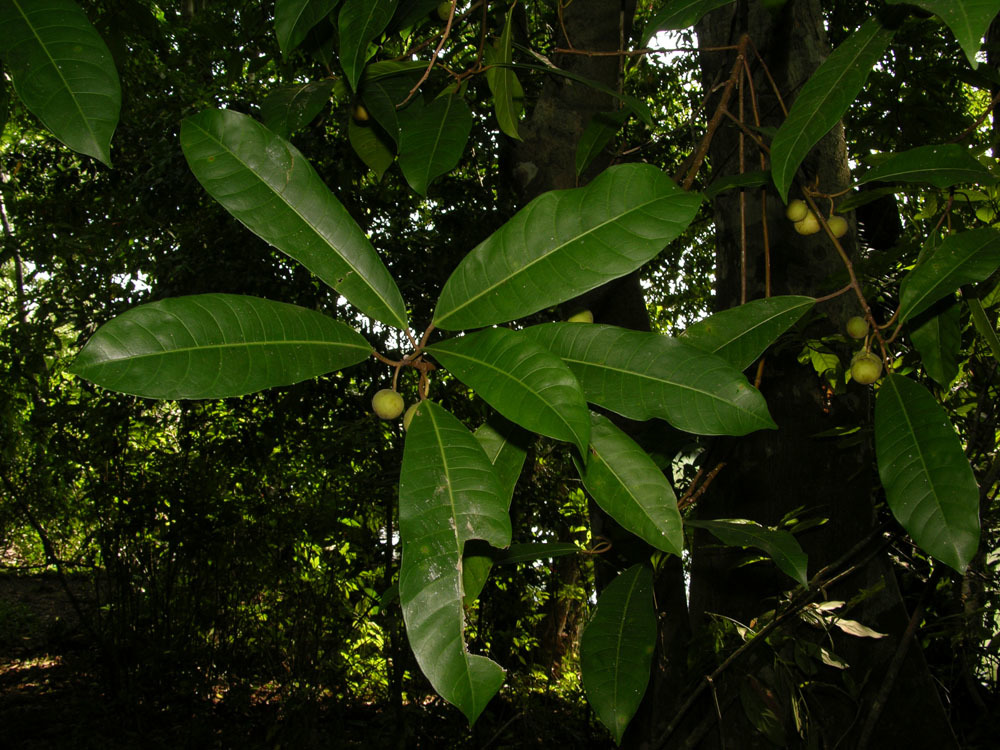 Image of <i>Ficus maxima</i> Mill.