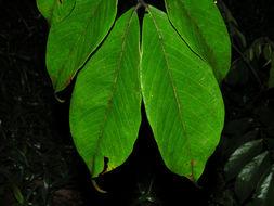 Image of <i>Inga thibaudiana</i> DC.