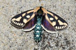 Image of An Australian species of Moth